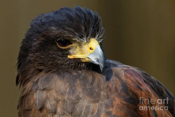 Photograph - Harris Hawk - Intense by Sue Harper