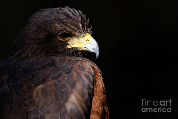 Photograph - Harris Hawk - Intensity by Sue Harper