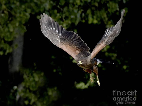 Photograph - Harris Hawk On The Prowl  by Judi Dressler