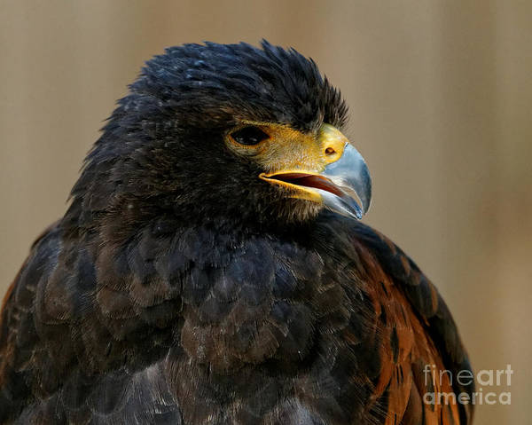 Photograph - Harris Hawk - Open Mouth by Sue Harper