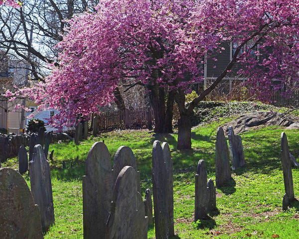 Photograph - Harris Street Cemetery Cherry Blossom Tree Marblehead Ma 2 by Toby McGuire