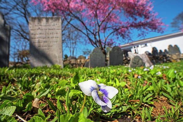 Photograph - Harris Street Cemetery Cherry Blossom Tree Marblehead Ma North Shore Flower Detail by Toby McGuire
