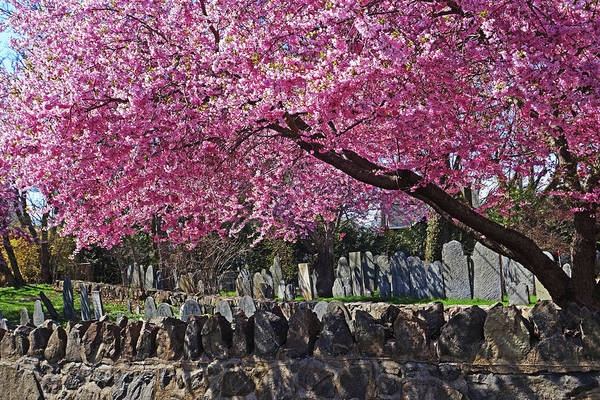 Photograph - Harris Street Cemetery Cherry Blossom Tree Marblehead Ma by Toby McGuire