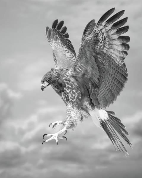 Photograph - Harris's Hawk by Bruce Bonnett