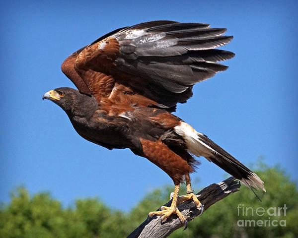 Photograph - Harris's Hawk by Martin Konopacki