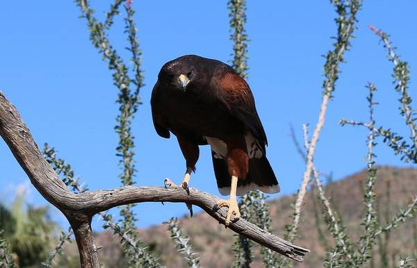 Photograph - Harris's Hawk Perched - 2  by Christy Pooschke