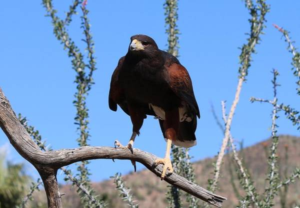 Photograph - Harris's Hawk Perched - 3 by Christy Pooschke