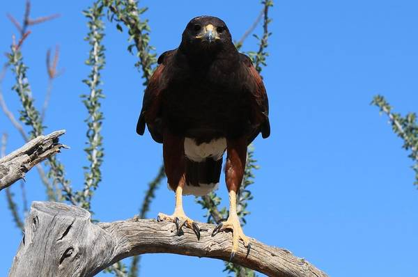 Photograph - Harris's Hawk Perched  by Christy Pooschke
