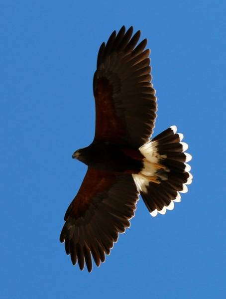 Photograph - Harris's Hawk Soaring  by Christy Pooschke