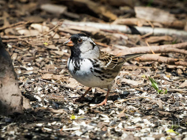 Photograph - Harris's Sparrow by Ricky L Jones