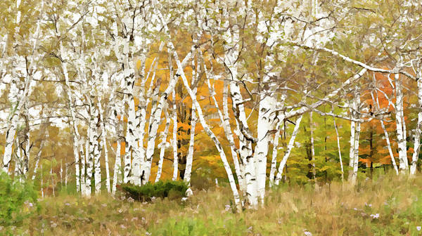 Photograph - Hartland Birch Grove Faux Oil Painting by Gordon Ripley