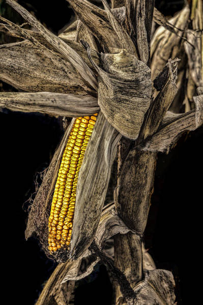 Photograph - Harvest Ear Of Corn by Randall Nyhof