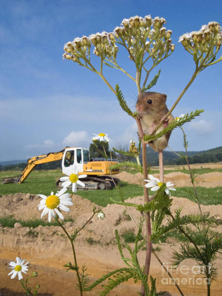 Excavator Photograph - Harvest Mouse And Backhoe by Jean-Louis Klein & Marie-Luce Hubert