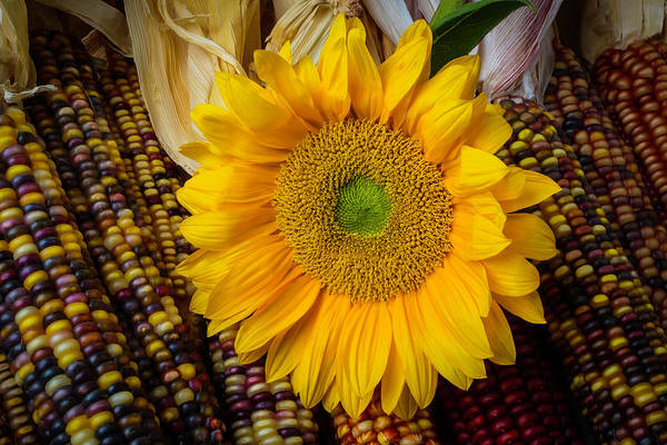 Indian Corn Photograph - Harvest Sunflower by Garry Gay