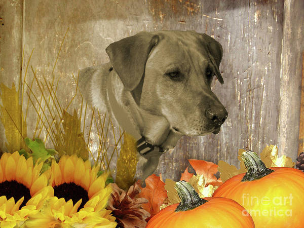 Photograph - Harvest Yellow Labrador Retriever by Rockin Docks Deluxephotos