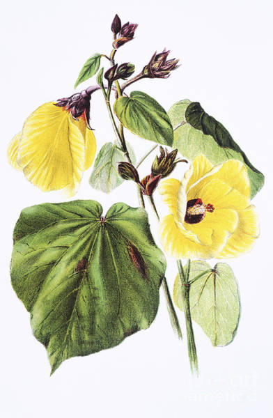Archival Painting - Hau Flower Art by Hawaiian Legacy Archive - Printscapes