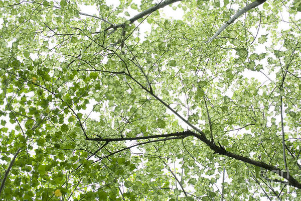 Hau Tree Canopy Art Print