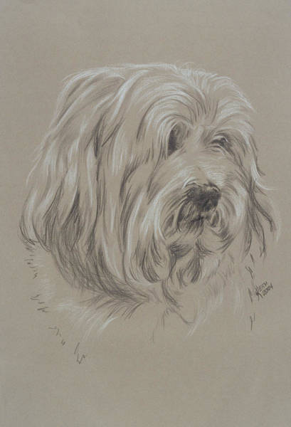 Wall Art - Drawing - Havanese by Barbara Keith