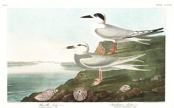Wall Art - Painting - Havells Tern by John James Audubon