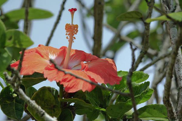 Filoli Photograph - Hawaiian Beauty by Linda Dunn