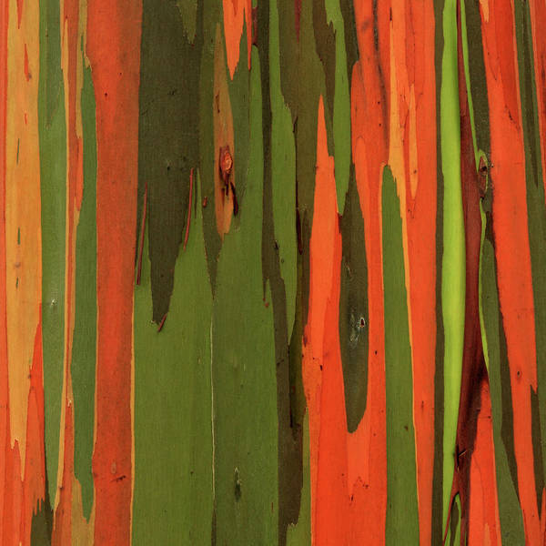 Photograph - Hawaiian Eucalyptus by James Eddy