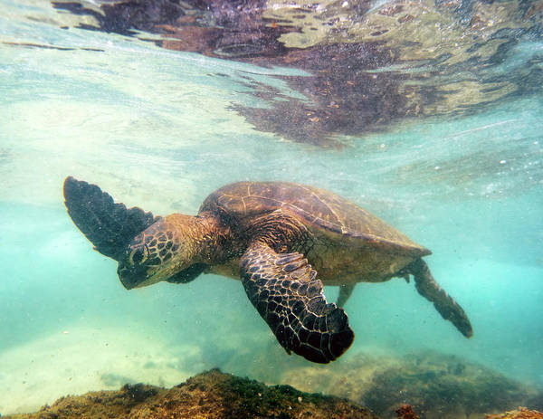 Photograph - Hawaiian Green Sea Turtle by Christopher Johnson