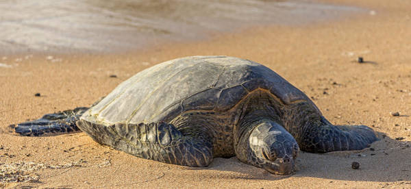 Photograph - Hawaiian Green Sea Turtle by Pierre Leclerc Photography