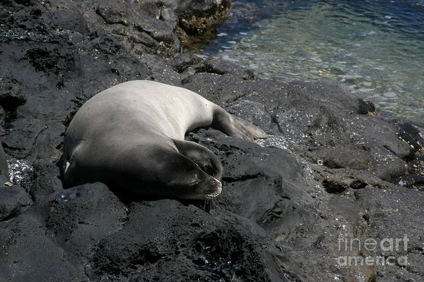 Photograph - Hawaiian Monk Seal Ilio Holo I Ka Uana by Sharon Mau