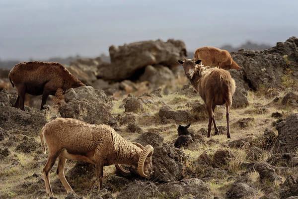Photograph - Hawaiian Sheep by Susan Rissi Tregoning