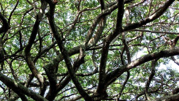 Ohau Wall Art - Photograph - Hawaiian Tree by Sarah Houser