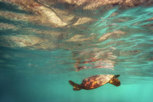 Big Island Photograph - Hawaiian Turtle by Christopher Johnson