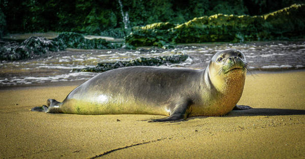 Photograph - Hawaii'n Monk Seal by Jason Brooks