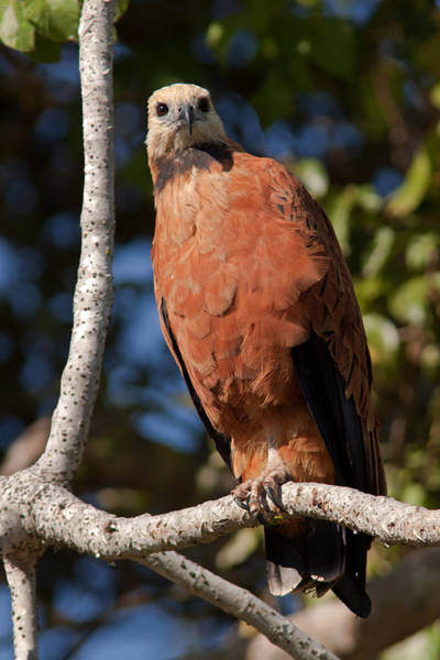 Photograph - Black-collared Hawk On Branch by Aivar Mikko