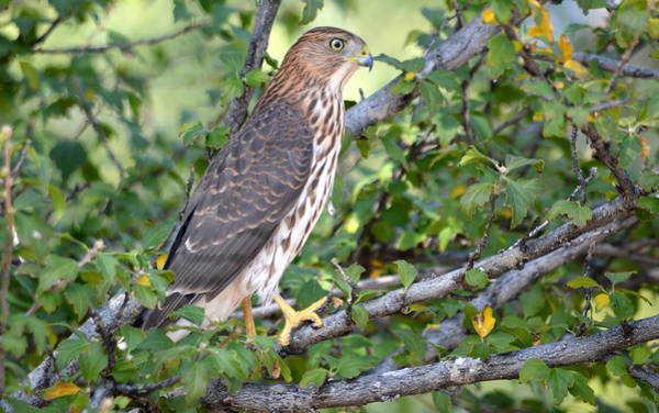 Photograph - Hawk  by AJ Schibig