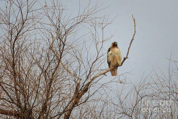 Photograph - Hawk At Rest by Richard Smith