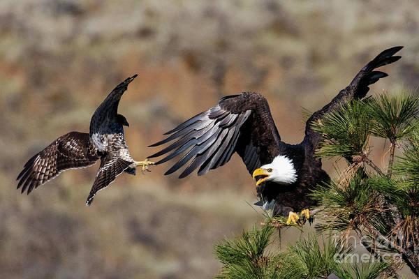 Talon Photograph - Hawk Attack by Mike Dawson