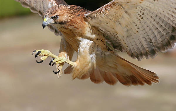 Photograph - Hawk Attack by Ronnie and Frances Howard