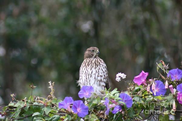 Photograph - Hawk by Cynthia Marcopulos