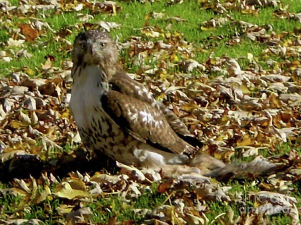 Photograph - Hawk Falling Leaves by Rockin Docks Deluxephotos