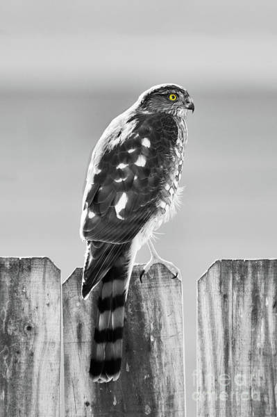 Sharpie Wall Art - Photograph - Hawk In Black And White by Betty LaRue