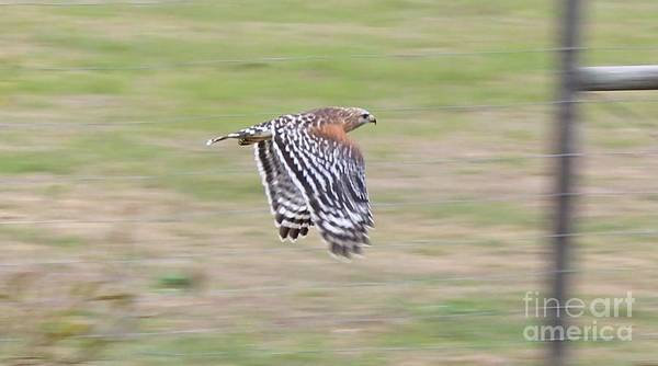 Photograph - Hawk In Flight by Tracy