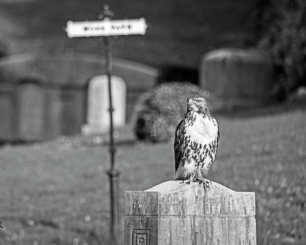Photograph - Hawk In The Mount Auburn Cemetery Cambridge Ma Black And White by Toby McGuire