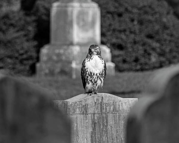 Photograph - Hawk In The Mount Auburn Cemetery Stare Cambridge Ma Black And White by Toby McGuire