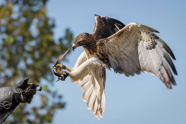 Photograph - Hawk In Training by Dawn Currie