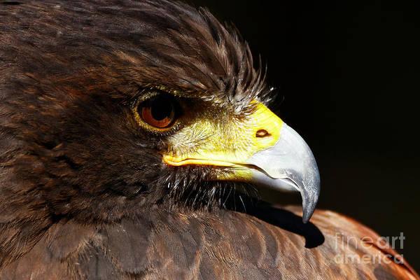 Photograph - Hawk Intensity by Sue Harper