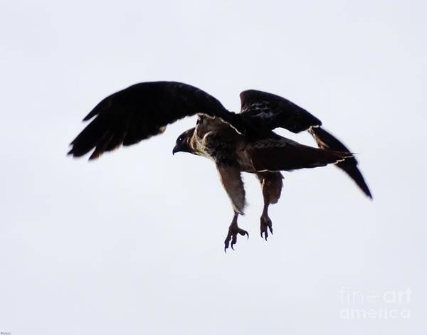 Photograph - Hawk Jericho Ar by Lizi Beard-Ward