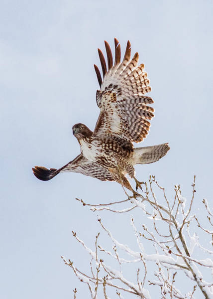 Lightroom Photograph - Hawk Lift Off The Snow by Mike Herron