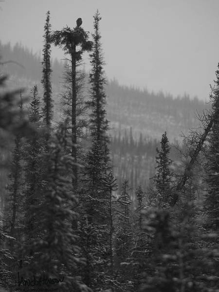 Photograph - Hawk Owl In The Snow by Ian Johnson