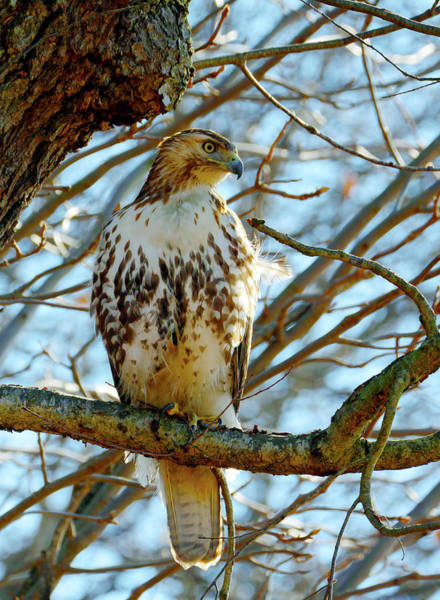 Photograph - Hawk by Paul Ross