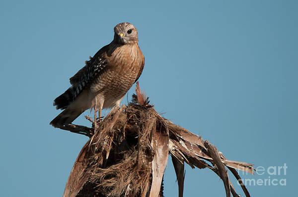 Photograph - Hawk by Photos By Cassandra